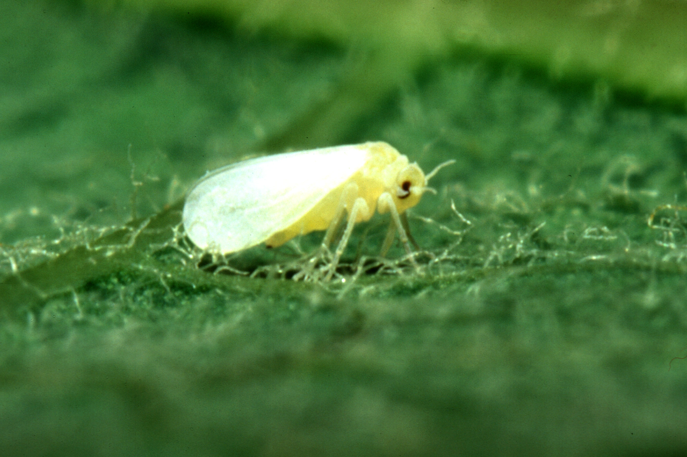 Whitefly Infestations Miami